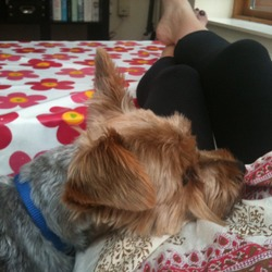 Lost dog on 13 Oct 2011 in Dalkey. Male yorkshire terrier - Ziggy, 2.5 years, grey and brown. Collar with number, chipped.