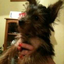 Lost dog on 13 Oct 2011 in navan co meath . Coco,male 1 yr old  yorkshire terrier. wearing a red collor lost around the  Proudstown Navan area. reward will be given. 