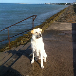 Lost dog on 13 Oct 2014 in Deansgrange. Lost dog, name Harvey, very friendly lost in deansgrange area but could be anywhere in Dun Laoghaire or Blackrock