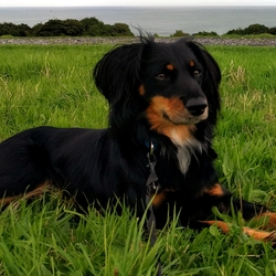 Lost dog on 13 Sep 2016 in Ballinteer/Stillorgan/Dundrum. Lost dog, Tazzy - lost in Ballinteer since Tuesday morning.  Seen in Balally area.  Please contact Mary on 2987081.  Taz is microchipped and was wearing collar and lead when he bolted due to a fright.  He is a very nervous rescue dog and we are so anxious to find him and bring him home.
