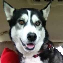Lost dog on 14 Apr 2015 in Dalkey . 4 year old Siberian Husky lost in Dalkey area, South Dublin