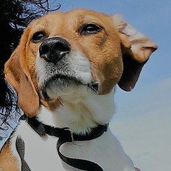 Reunited dog 14 Apr 2017 in Slane. Tricolor female Beagle lost in Slane today. She is friendly. She is chipped and neutered.