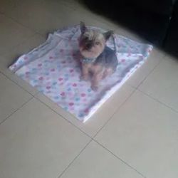 Lost dog on 14 Aug 2014 in Dublin 9. Sparkey is a male miniature Yorkshire terrier. He is 13 yrs old and black,tan and grey in colour. He went missing on Thursday 14th August from ellenfield park Whitehall if found please contact Katie 0852723684