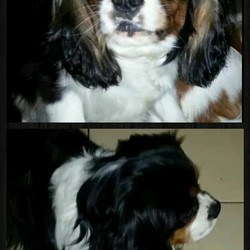 Lost dog on 14 Aug 2014 in Galway . Please keep an eye for this dog,my kids are devastated. 2 year old king charles..brown,white and black. His name is charlie.
