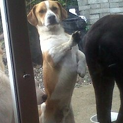 Lost dog on 14 Feb 2013 in Borrisokane/Co Tipperary. Brown &white Jack Russell cross long tail answers to name Roger not wearing collar