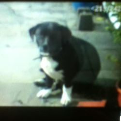Lost dog on 14 Jan 2012 in annacotty, Limerick. This 2 year old black dog called Sox, with white paws, missing from Annacotty area since Saturday. Family pet. Wearing collar but no ID. 