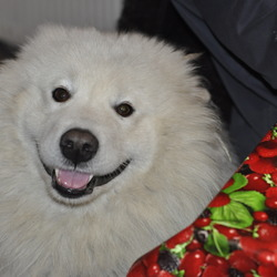 Lost dog on 14 Jan 2014 in Boley,Ballylinan,Laois. Large Samoyed Husky.Male,Not Neutered,Not Microchipped.Wearing brown leather collar.About 5 years old.