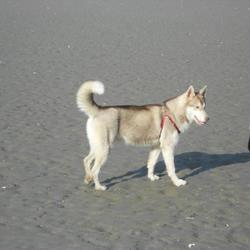 Lost dog on 14 Jul 2012 in Rathfarnham D14. Siberian Husky, 10 months, lost Massey Woods Rathfarnham Sat evening 14th July, answers to the name Luna, shes microchipped, adored little girl.Any information no matter what please please!! 087 6524755