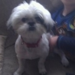 Lost dog on 14 Jul 2013 in Fana Burca  / Knocknacarra - Galway. White, female, shih tzu, shaved with bushy head and tail