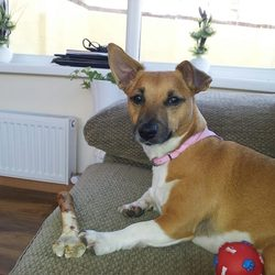 Lost dog on 14 May 2013 in Finglas. Jack russell female come to the name missy. She has tan hair on top white from the underneath of the neck down four white stocks her tail is foxed. Missy went missing last night at 12 pm in the finglas area.