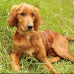 Lost dog on 14 May 2013 in Kilbrittain, Co.Cork. 9 month old red setter. Lost in the Kilbrittain area on Tuesday morning between 10.45am & 11.30am.