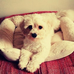 Lost dog on 14 Nov 2015 in Dartry dublin 6. *****We are offering a 100 Euro reward for his safe return***** Bailey is an 11 month old male cavachon puppy who went missing from the Dartry/Dublin 6 area last saturday night at 7.30 pm. He isn't chipped or tagged, but he is wearing a red collar. There was a possible sighting near the Charlemont Luas stop Friday at 9am. Please call 0867957211 or 0868661166
