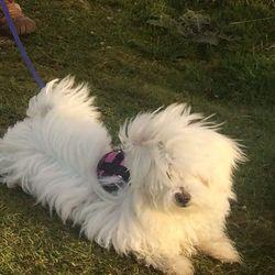 Lost dog on 14 Nov 2016 in Newbridge, Kildare. Maltese 5 months old, responds to Eva, generous reward offered upon her safe return