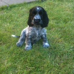 Lost dog on 14 Oct 2011 in holywood/belfast. please help......our six month old cocker spaniel puppy has been taken from our garden in Holywood Co Down, she is a blue Roan with very distinctive marks. we have two young girls who desperately want her home, please contact Nik on 07980549535.  there is a large reward for her safe return, many thanks