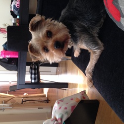 Lost dog on 14 Oct 2014 in Belmayne Balgriffin Dublin 13. Indie is a female Yorkshire terrier last seen in belmayne Dublin 14 she is wearing a flowery collar and the tips of her back paws are white really worried about her :-(