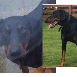Lost dog on 14 Oct 2014 in derry. STOLEN doberhman