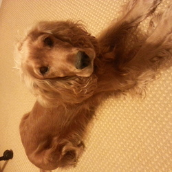Lost dog on 14 Oct 2014 in Lucan, Co. Dublin. Male Cocker Spaniel last seen at Abbeywood Avenue, Lucan.