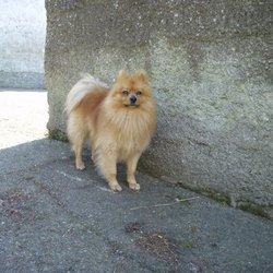 Lost dog on 15 Aug 2013 in Wicklow. Missing male pom. Large, orange/gold colour. He's missing since Thursday Aug 15th. From the area between Dunlavin and Hollywood cross (Wicklow). Any info let me know. Thank
