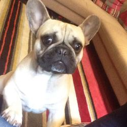 Lost dog on 15 Aug 2017 in Waterloo road , Dublin 4. French bulldog, beige, white chest , male 1 year old