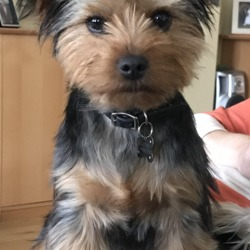 Lost dog on 15 Feb 2018 in Clongriffen Dublin 13. Yorkshire Terrier. Missing since 15th feb Thursday from Father Collins Park @ 10am. Wearing his collar with name number on it also a high viz yellow jacket and harness. He is also micro chipped. Please help us bring him home to our heartbroken family. 