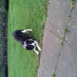 Lost dog on 15 Jan 2013 in leixlip/maynooth kildare. black and white collie went missing on the canal in the leixlip/maynooth area. answers to tyson snd knows sit stay rollover etc. shud hav black or blue collar on.