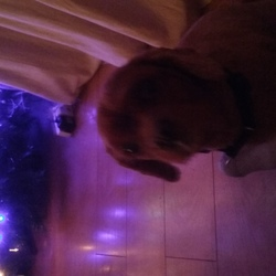 Lost dog on 15 Jan 2016 in Lucan. Lost grange manor lucan