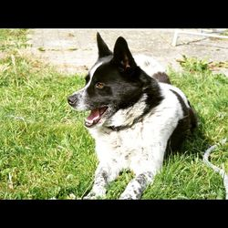 Lost dog on 15 Jul 2015 in Emo / Portarlington Co.Laois. Petal is Medium sized with a slight build , black and white , Samoyed Huskey /Labrador cross , very shy .
