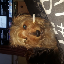 Lost dog on 15 Jul 2017 in Naas . Griffin is missing from the RATHASKER area of Naas Co.Kildare. He is a Yorkshire terrier cross has a typical appearance of black and tan, very shaggy and an unusually long squirrel tail and is wearing a black nylon collar. We are eager to be reunited and would appreciate any help thank you.