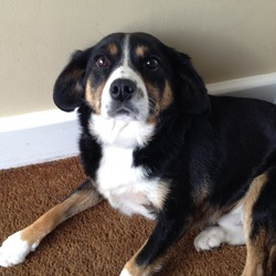 Lost dog on 15 Jun 2014 in Cratloe Keel. Black, white and brown dog.