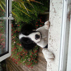 Lost dog on 15 Jun 2014 in lucan. Black and white collie/springer cross...puppy..very friendly..LOST IN LUNAN ON SUNDAY AFTERNOON
