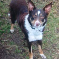Lost dog on 15 Jun 2015 in Co Wicklow BRAY. JESS -Female Collie, 4yrs, Chocolate brown + white. Lost in Bray area.  May have been seen in vicinity of Dargle/Fassaroe. Has litter of PUPS at home and was on medication arising from nursing.  Please call Owner any time at 086 3480 234 or report to Bray Gardai 666 5300. Owner searched immediately and continuously for this dog, someone has taken her.  Please help return her to her human family and her pups.