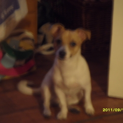 Lost dog on 15 Mar 2012 in islandbridge d8. white and tan jackrussel comes to the name pal with tale call 0851701826