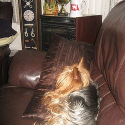 Lost dog on 15 Mar 2014 in Bettystown. Yorkshire Terrier (Ben) aged 10 years White-Cream Collar.