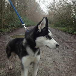 Lost dog on 15 May 2013 in Dublin, Palmerstown. Black and white husky pup about seven months, male. Two blue eyes, friendly and energetic.