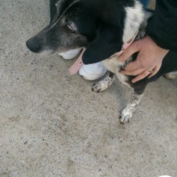 Lost dog on 15 May 2015 in Aylesbury, Tallaght. 6-8 Year old collie cross, black grey and white, with pink/red collar, dspca tag on collar, is microchipped, please contact Tara 0851449948/dspca if found
