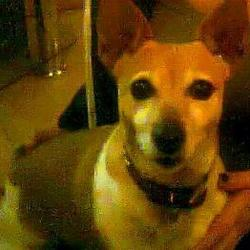 Lost dog on 15 Nov 2012 in Rowlagh/Clondalkin. Brown/White Female Jackrussell Called Bonnie.