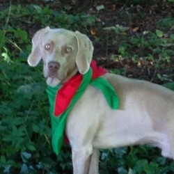 Lost dog on 15 Nov 2014 in West Wicklow. Weimaraner male 2 yrs old neutered and chipped missing from Blessington area Co Wicklow.