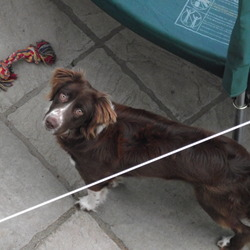 Lost dog on 15 Oct 2011 in Bray/Dargle. Brown And White Collie/Springer Mix, Wearing a Blue Colar