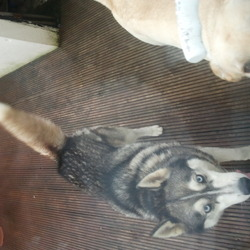 Lost dog on 15 Oct 2012 in Palmerstown Dublin. Siberian Husky 4years old blue eyes .pleas get in touch