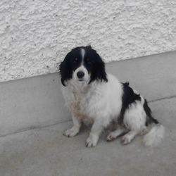 Lost dog on 15 Oct 2012 in templemore. princess. kind gental .taken from house.