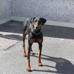 Lost dog on 15 Sep 2012 in Cork. Doberman Pincher Female