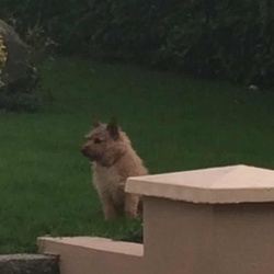 Lost dog on 16 Apr 2015 in Gorey, Co. Wexford. Small wire haired brown terrier female