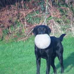 Lost dog on 16 Apr 2015 in Listowel. black Labrador same as in picture. His name is