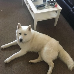 Lost dog on 16 Apr 2017 in Clongorey Newbridge Kildre. Pure White Husky with brown eyes medium size