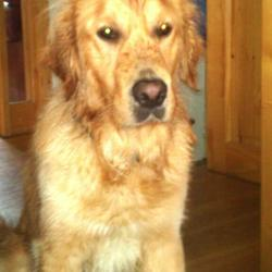 Lost dog on 16 Aug 2013 in Knocklyon. 2 year old golden retriever