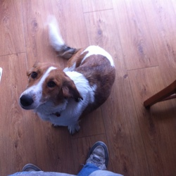 Lost dog on 16 Aug 2014 in Cabinteely Dublin18. Lost Bassett x Collie female in Cabinteeky Park today. No ID tag. Please call 087 207 9910 if you see her