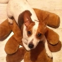 Lost dog on 16 Feb 2013 in Lost. White and brown jack Russell lost Saturday 16 February has love heart shaved into brown patch on back please help return dog to my heart broken 11 year old daughter really missed