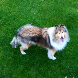 Lost dog on 16 Feb 2014 in Athlone, Roscommon. Holly went missing from our home in Drum, Athlone on Sunday 16th of February. She was wearing a red radio fence collar.