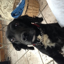 Lost dog on 16 Jan 2016 in dalkey. Black cocker spaniel with white chest. Red and chain collar . No I.d