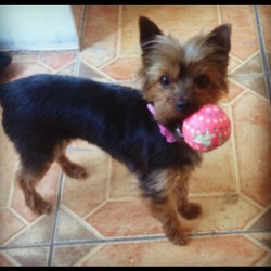 Lost dog on 16 Jul 2013 in Dublin 15. Yorkshire terroir missing since 6th July from tyrellstown / dublin 15 area . She's black / brown and was wearing a pink collar . Any details could you please call me 0858295985